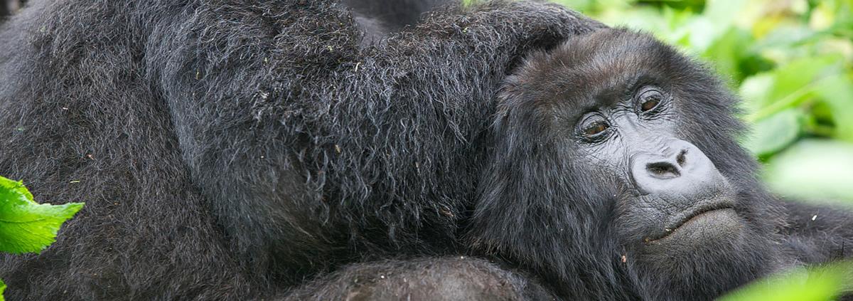 gorilla-safari-bwindi-forest